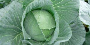 Cabbage STAR-3315