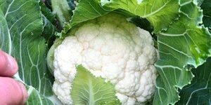 Cauliflower - CROSSWAY (WINTER)