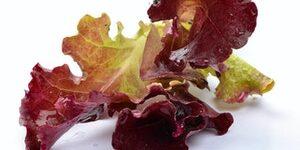 Lettuce - RED – OU (RED OAK)