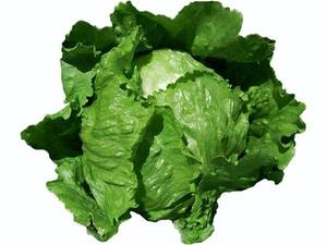 Lettuce - MAJOR