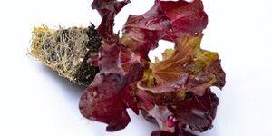 Lettuce - MULTIRED 4