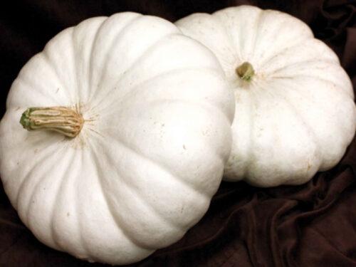 Pumpkin - FLAT-WHITE-BOER-FORD