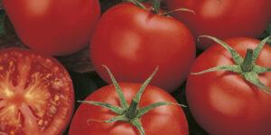 Tomato - Money Maker